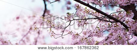 Cherry blossoms in full bloom. Wide header dimension image. Soft pastel pink cherry blossom flowers and beautiful pastel blue spring sky in background. Shallow depth of field.