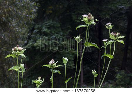 Prickly weeds with the dark green forest background.