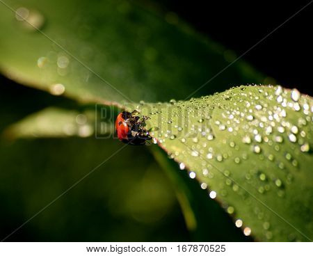 fresh morning dew and little ladybird on grass