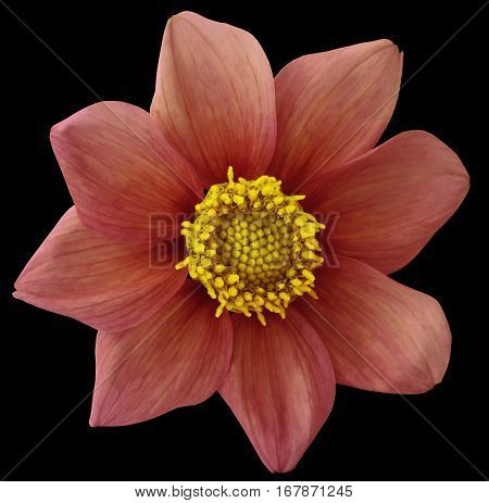Dahlia flower vinous-red black isolated background with clipping path. Closeup. no shadows. For design. eight petals. Nature.