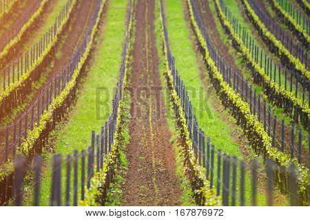 Vineyard rows in evening sunlight. Wine agriculture background. First leaves of grape in spring.