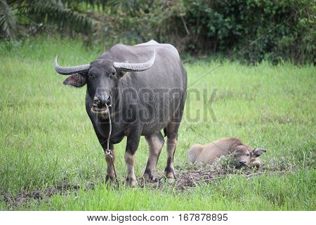 Thai Buffalo walk over the field go back home with sunset. Life' Machine of Farmer. Original agriculture use buffalo plow the field