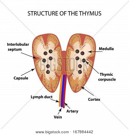 Structure of the thymus. The thymus gland. Infographics Vector illustration