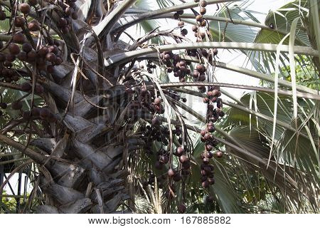 Fruits on a palm tree grow for a certain purpose