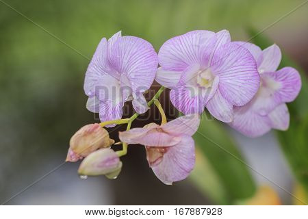 Beautiful pink orchid blooming on a branch with blurry green leaf in the garden