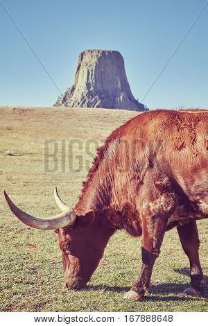 Color toned Texas longhorn cow with Devils Tower in distance Wyoming State USA.