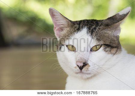 Portrait of cute male Thai cat indoor