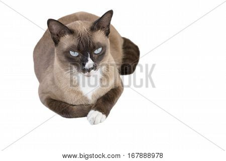 Portrait of cute male Thai cat isolated on white background