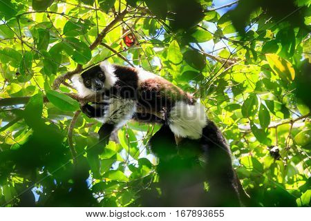 Black-and-white Ruffed Lemur, Madagascar Wildlife