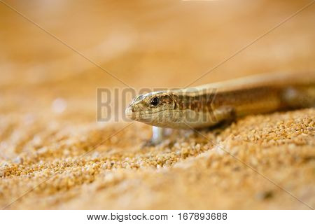 Madagascar Girdled Lizard, Madagascar Wildlife