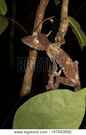 Giant Leaf-tailed Gecko On Tree, Madagascar Wildlife