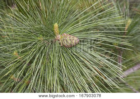 Ayacahuite Pine Young Cone