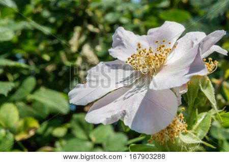 Close-up of a dog rose, Rosa canina, with green leaves on a blurry background