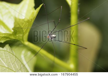 a cute big daddy long legs spider on a plant leaf