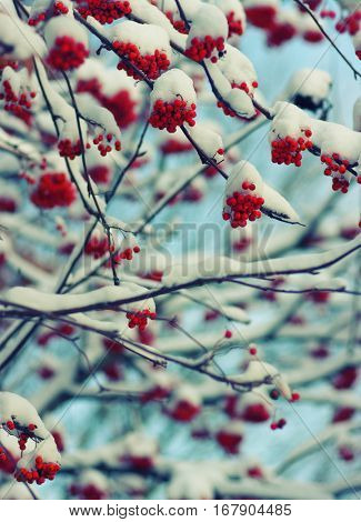 Red bunches of rowan covered with the snow