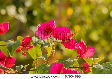 Pink bougainvillea flowers on nature background .