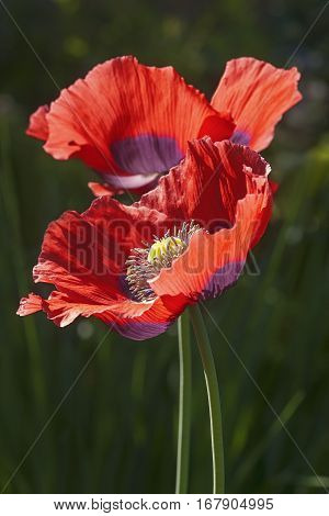 Opium Poppy Flowers