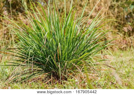Lemongrass lemongrass citronella in natural back ground