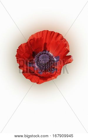 Oriental poppy (Papaver orientale). Image of flower isolated on white background