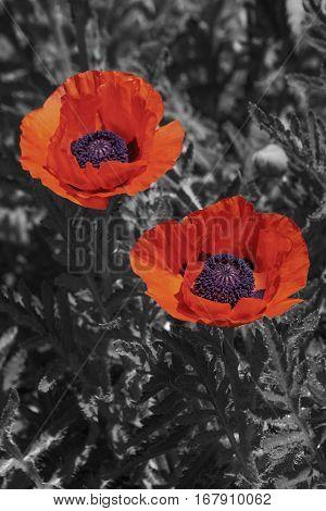 Oriental poppy flowers (Papaver orientale). Modified image of flowers