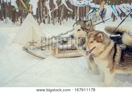 Huskies spending time outdoors in Lapland Finland