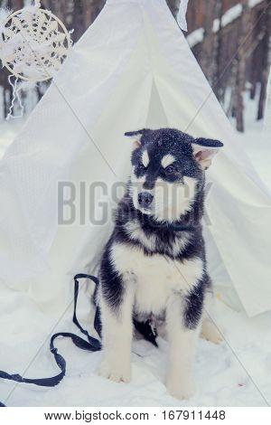 Two Alaskan Malamute stay in the snow field