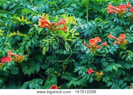 Beautiful trumpet creeper or Campsis radicans blossoms