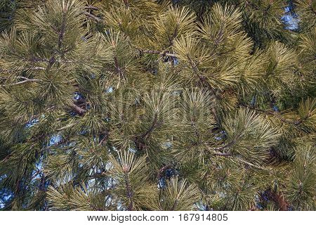 Ponderosa pine (Pinus ponderosa). Called Bull Pine Blackjack Pine and Western Yellow Pine also