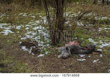 Dead goat corpse on the ground with green grass and snow