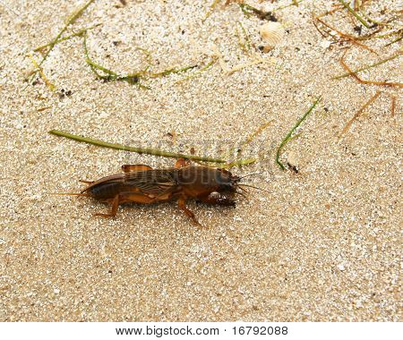Mole Cricket (maulwurfsgrille)