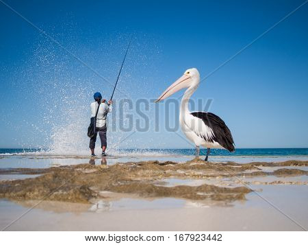 Australia Yanchep Lagoon 04/18/2013 Australian pelican watching a fisherman and waiting for scraps on an australian beach