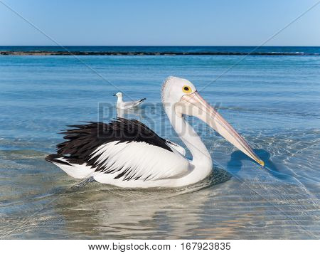 Australia Yanchep Lagoon 04/18/2013 Australian pelican swimming in the shallows on an australian beach