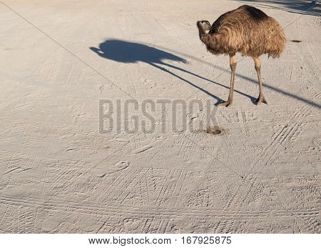 Australia Monkey Mia 01/04/2015 Australian emu cleaning itself