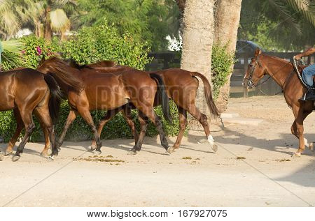 Beautiful brown Horses running in a group