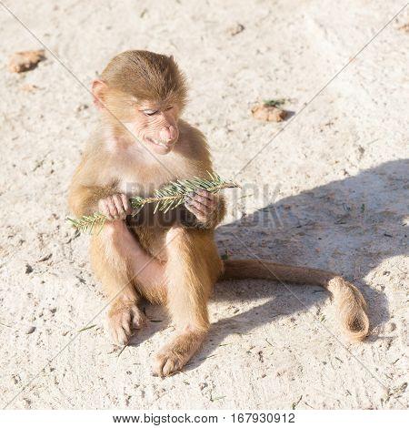 Baby Baboon Sitting