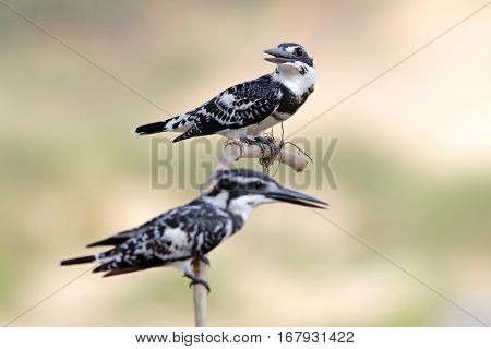 Pied kingfisher Ceryle rudis Male and Female