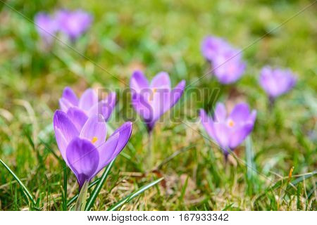 A few first spring flowers crosuses in the grass.