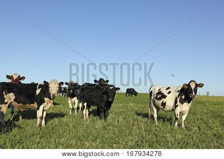 Herd Of Cattle. Latin America. La Industria De La Ganadería Vacuna Es Una De Las Más Importantes Act