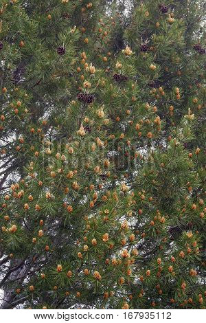 Lace-bark pine (Pinus bungeana). Tree with pollen and seed cones