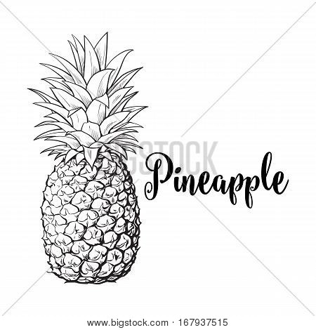 Whole, unpeeled, uncut pineapple, sketch style vector illustration isolated on white background. Realistic hand drawing of whole fresh, ripe pineapple, side view