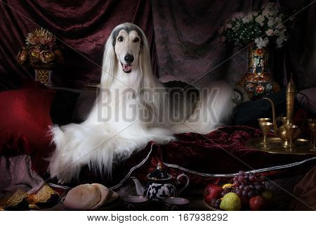 White thoroughbred Afghan hound dog lying on the carpet in the Arab style interior with flowers and fruit
