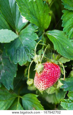 Red strawberry growing in the garden .