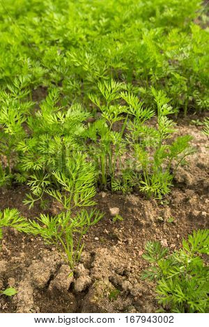 The Green Tops Of The Carrots In The Beds In The Garden