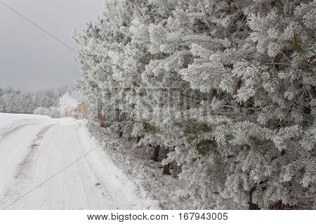 Freezing Fog On Trees. Icing On The Branches Of Pine Trees. Cold Morning In The Countryside. Rural L