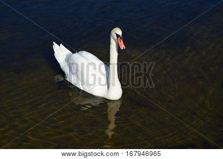 Mute swan (Cygnus olor) floats on water.