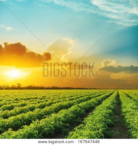 orange sunset in clouds over field with tomato bushes