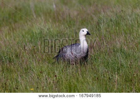 Patagonian Goose, Birds, Animals, South America, Patagonia, Argentina, Tierra Del Fuego, Land Of Fir