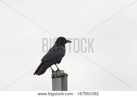 Isolated carrion Crow (Corvus corone) standing with white background