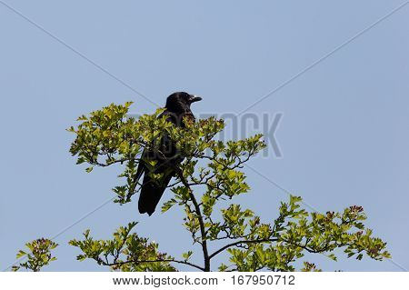 Carrion Crow (Corvus corone) sitting on tree with blue sky
