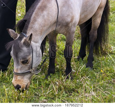 Miniature horse grazing on meadow, Northern Caucasus